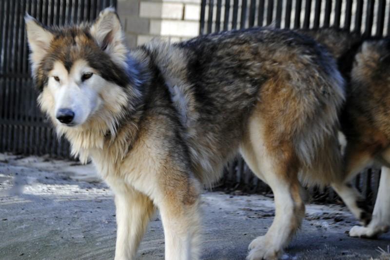 Wolf Hybrid Puppies   Wolf Hybrid Puppies for Sale   Wolf